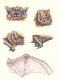 Diagnostic details of Noctule Bat